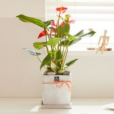 안시리움 모던라인 1호, 고국통신, 화분, 관엽식물, 선물