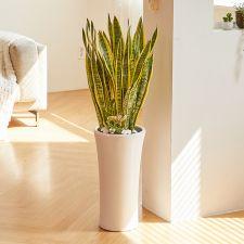 산세베리아 클래식, 꽃, 화분, 관엽식물, 공기정화