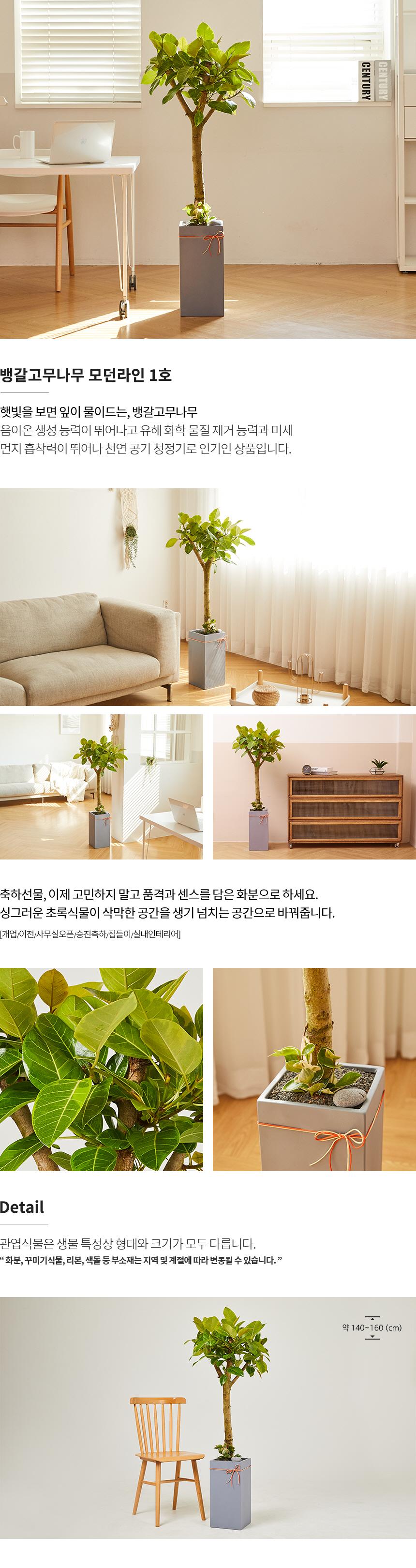 뱅갈고무나무 모던라인 1호